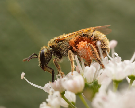 Photo of Lasioglossum bee