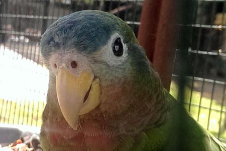 Jamaican Parrot