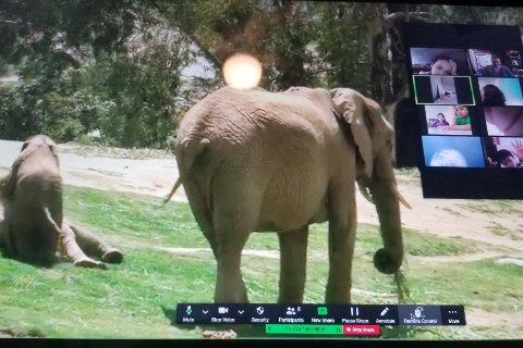 Screenshot of elephants at a zoo and people on a conference call watching them.