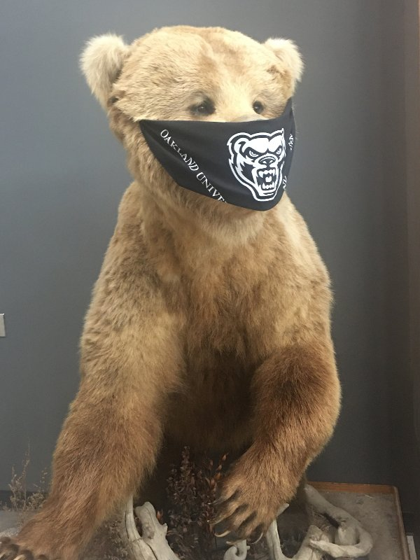 A brown bear statue wearing a black Oakland University Grizzlies protective face covering.